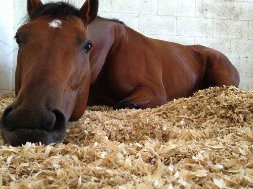 Un caballo marrón apoyado en la paja de su cuadra. Hay que cuidar los caballos en invierno.