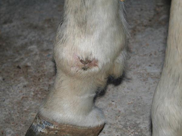 Rozaduras en la piel del caballo blanco, en concreto en los menudillos..