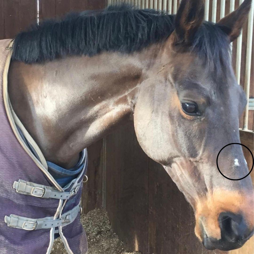 Rozaduras en la piel del caballo gris, en concreto en el morro y la nuca.