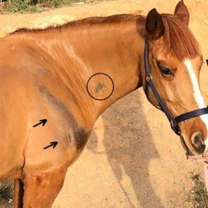 Rozaduras en la piel del caballo, en concreto en su cuello y patas.