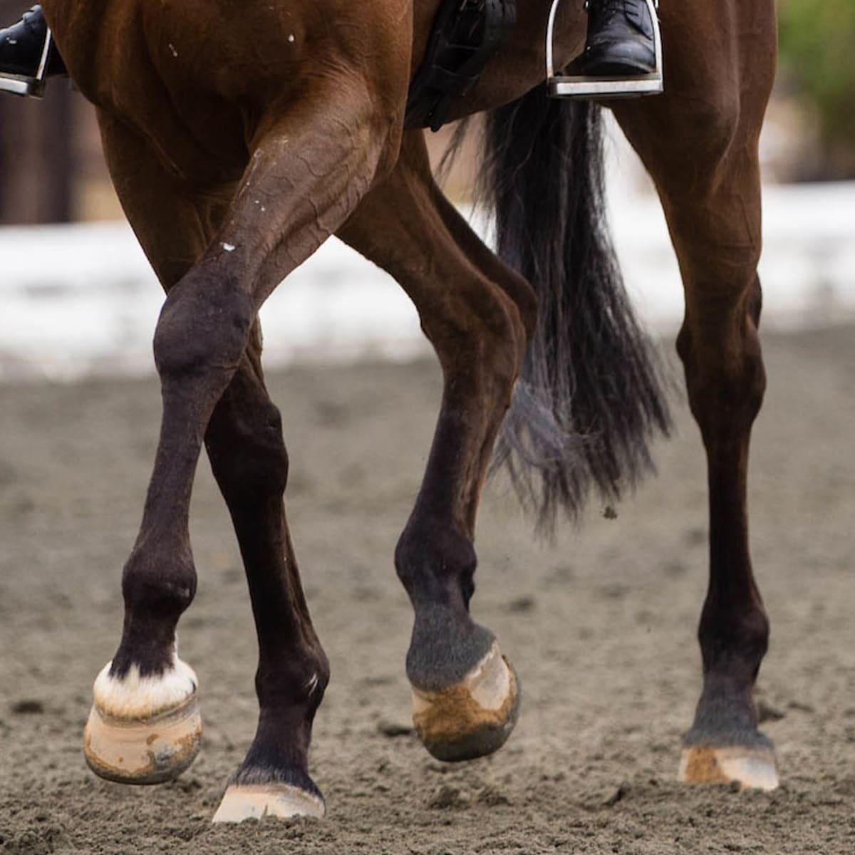 Unos vendajes oscuros en un caballo marrón, muy útiles para cuidar a los caballos en invierno.