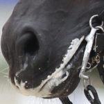 espuma en la boca de un caballo, esto es clave en estas trampas en concursos de doma